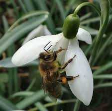 bee on snowdrop2
