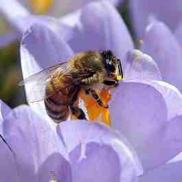 bee-in-crocus
