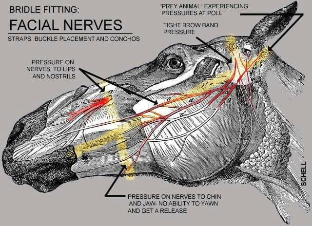 Facial nerves involved in bridle design.