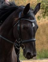 Saturn Bridle