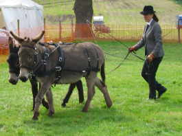 Donkey pair long reining