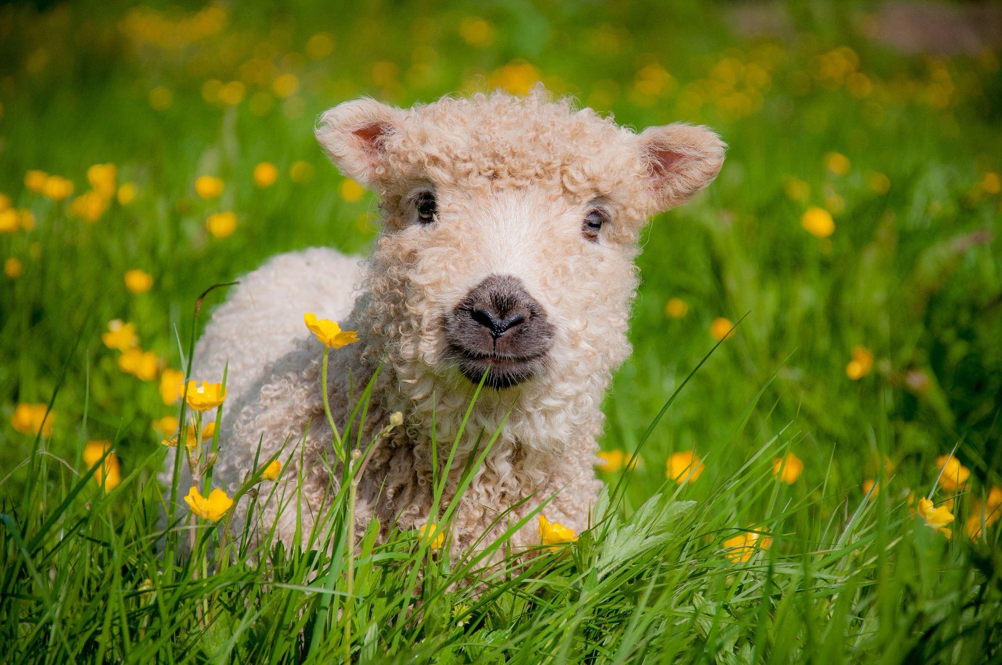 Greyface Dartmoor Lamb. Greeting Card