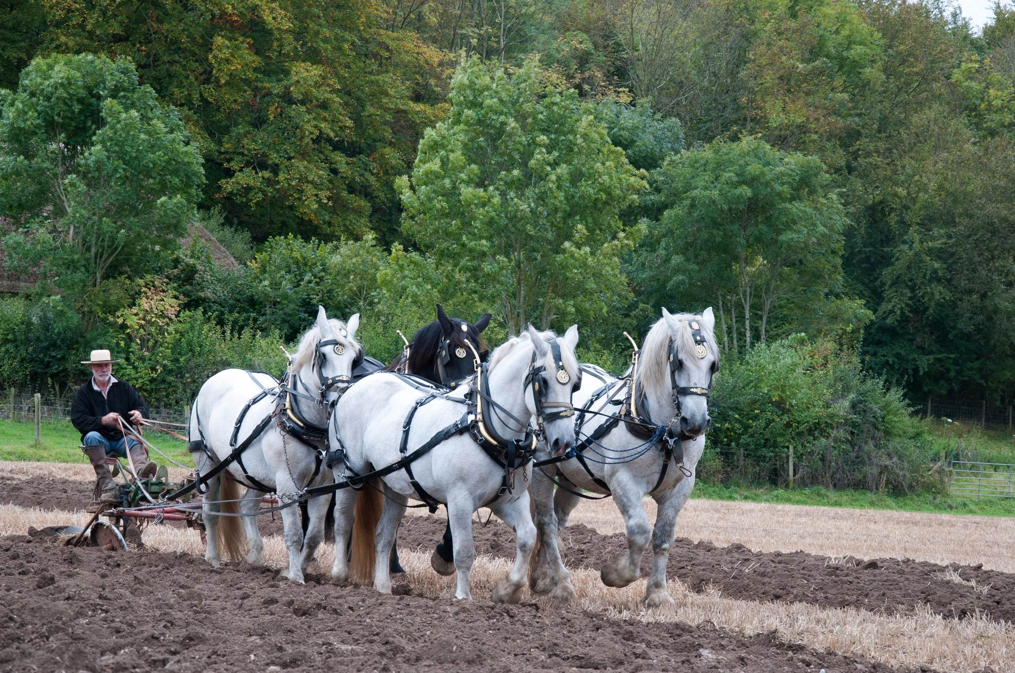 Shire Horses Ploughing, Weald and Downland Museum, Farming, Greeting Card, Hand made