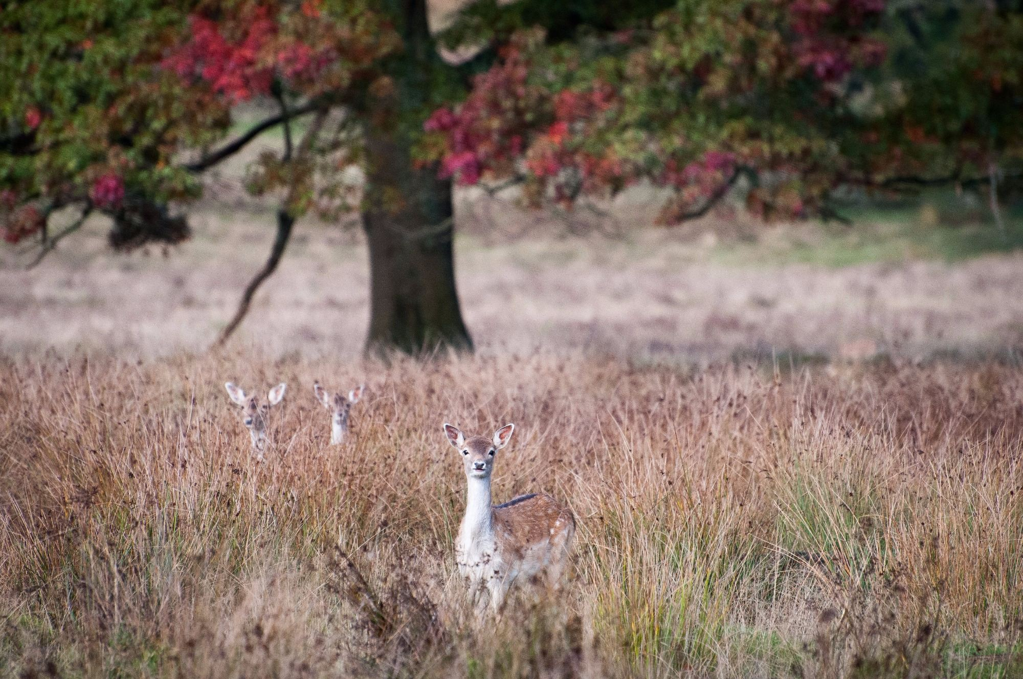 Fallow Deer, Petworth Park, West Sussex, Greeting Card, Photographic Greeting Card