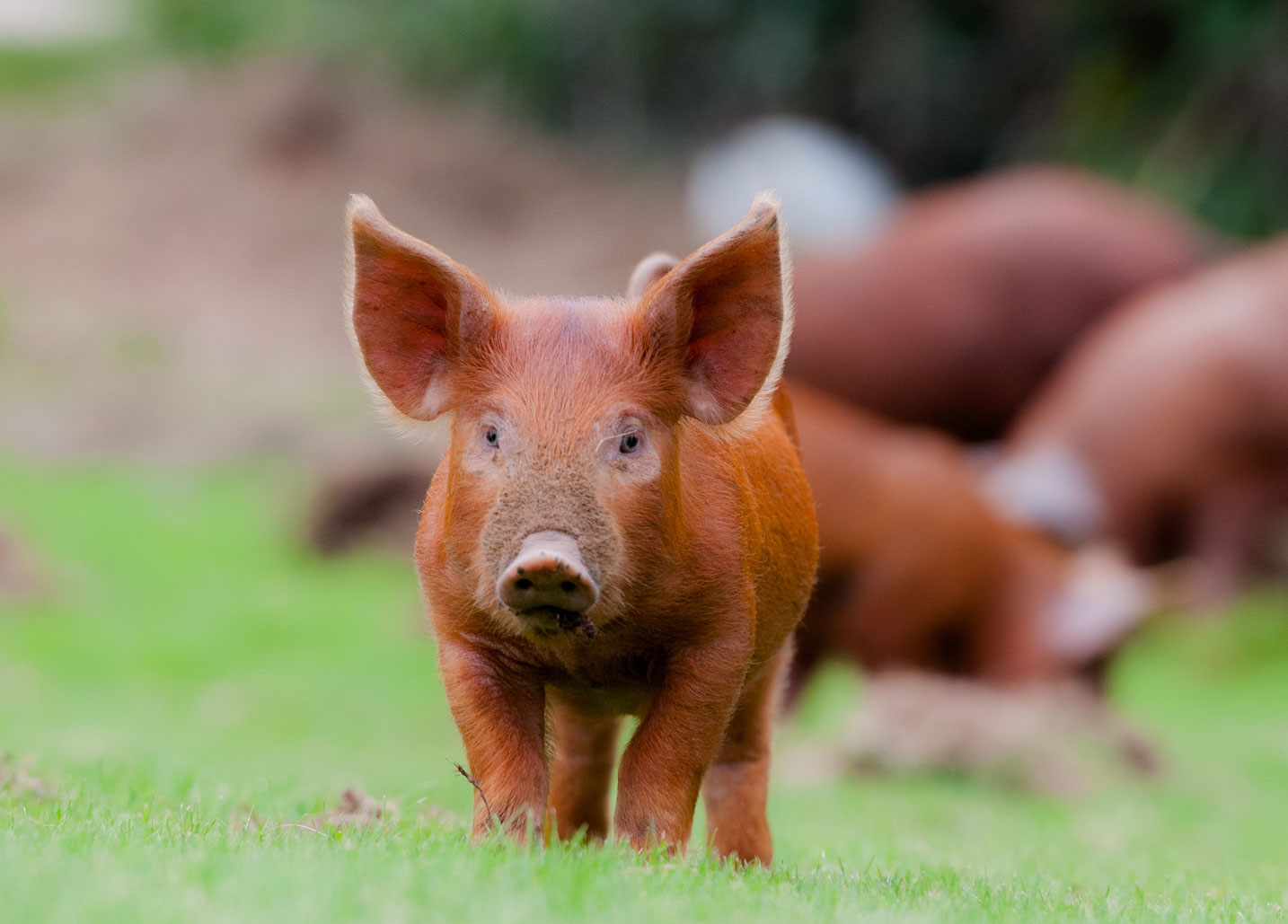 Tamworth Piglet, Greeting Cards, Photography Greeting Cards, Pigs, West Sussex, Farming