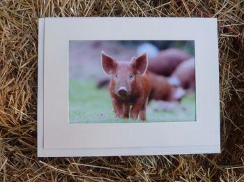 Pigs 15