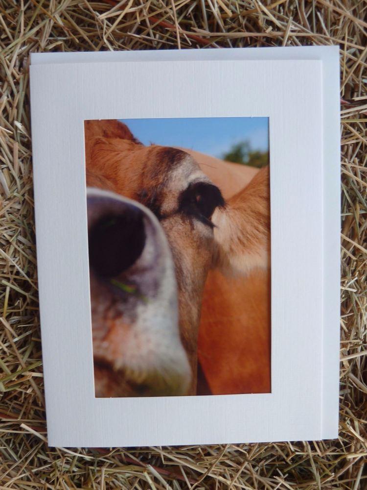 Cows 13