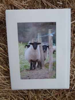 Sheep 15