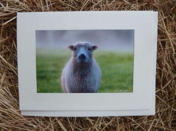 Sheep 18