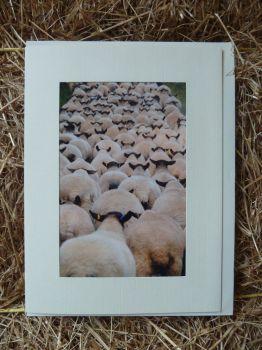 Sheep 19