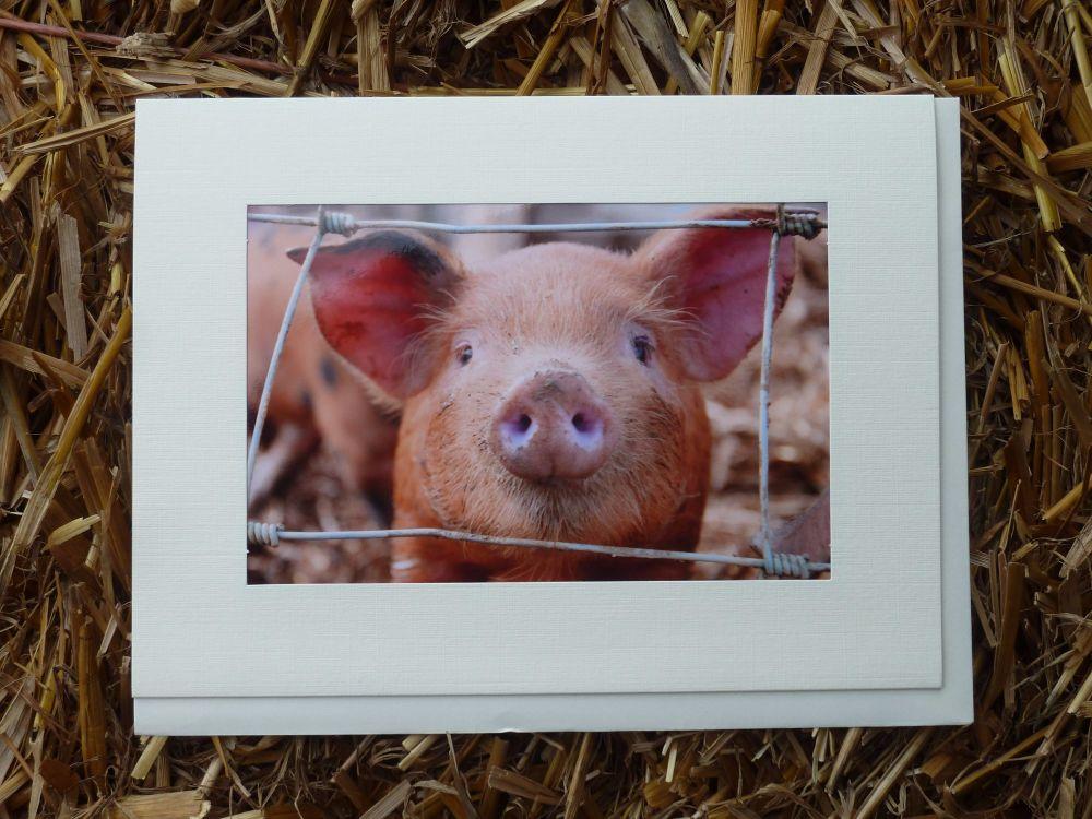 Pigs 16