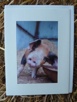 Pigs 17