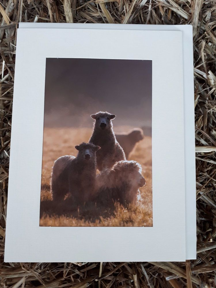 Sheep 26