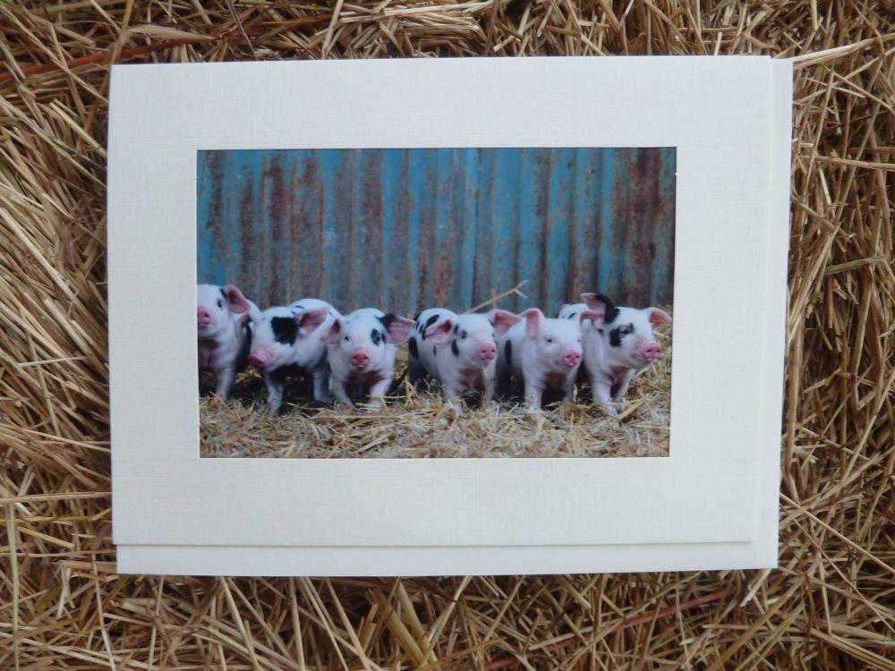 Pigs 19