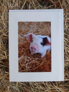 Pigs 21