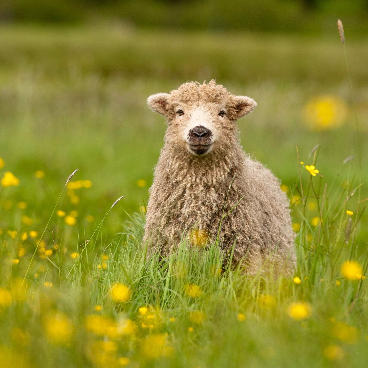 Greyface Dartmoor Lamb in Buttercups. Hand Made Greeting Cards