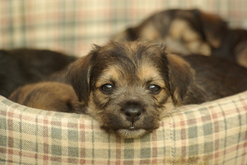 Boarder Terrier Puppy. Greeting Card