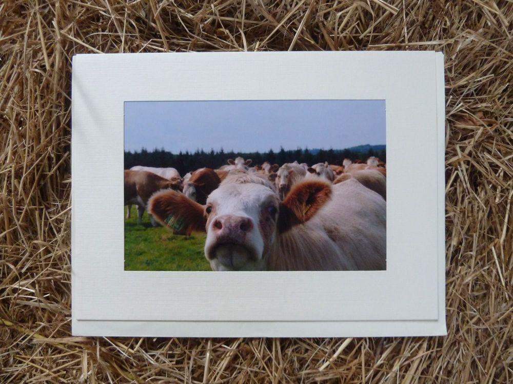 Cows 6