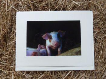 Pigs 11