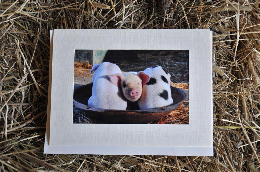 Pigs 12
