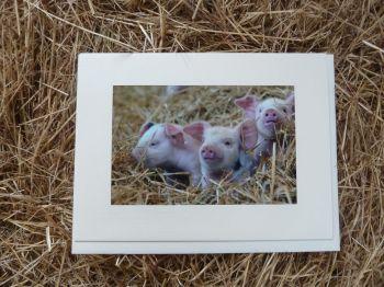 Pigs 14