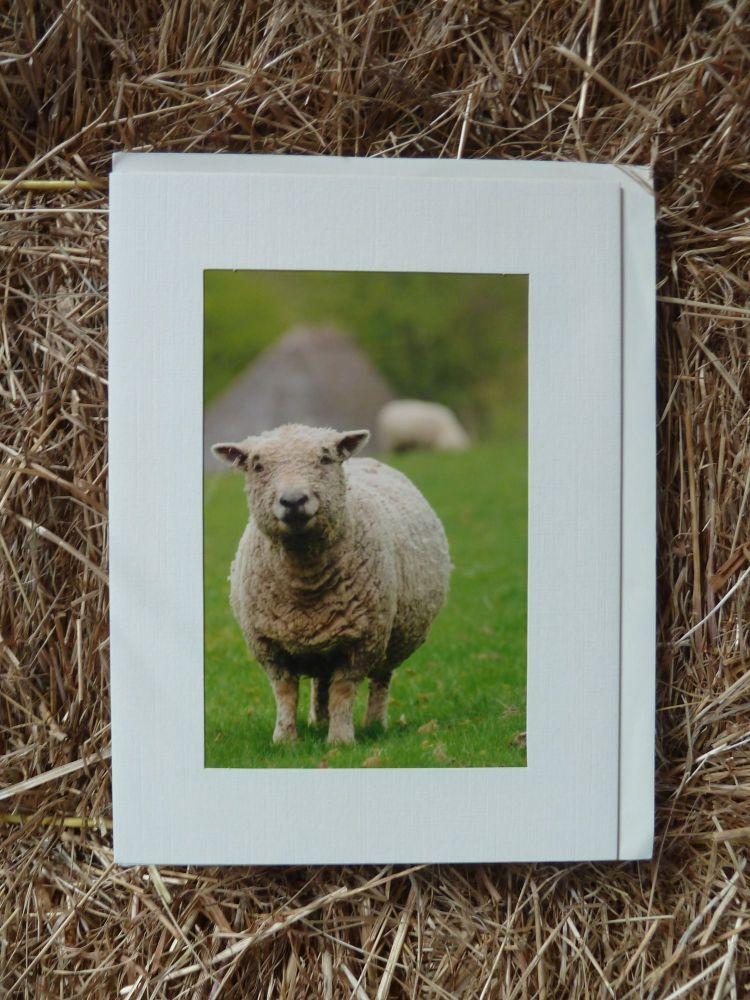 Sheep 13