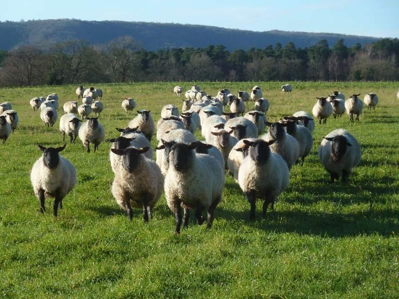 Kilsham Sheep 1