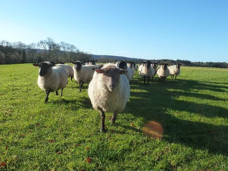 Kilsham Sheep2