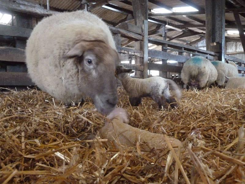 Kilsham X Lambing 4