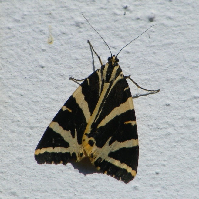 Jersey Tiger Moth 4 blog. jpg