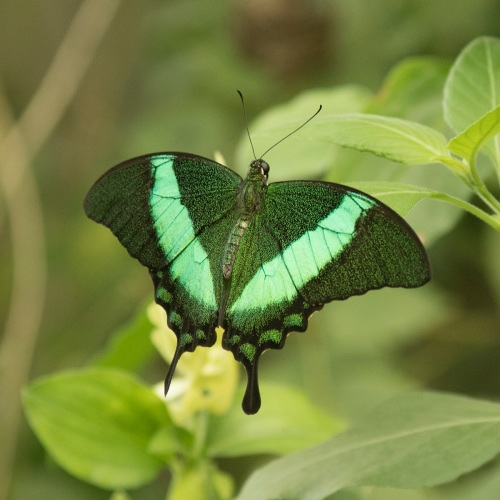 Emerald Green Swallowtail Butterfly