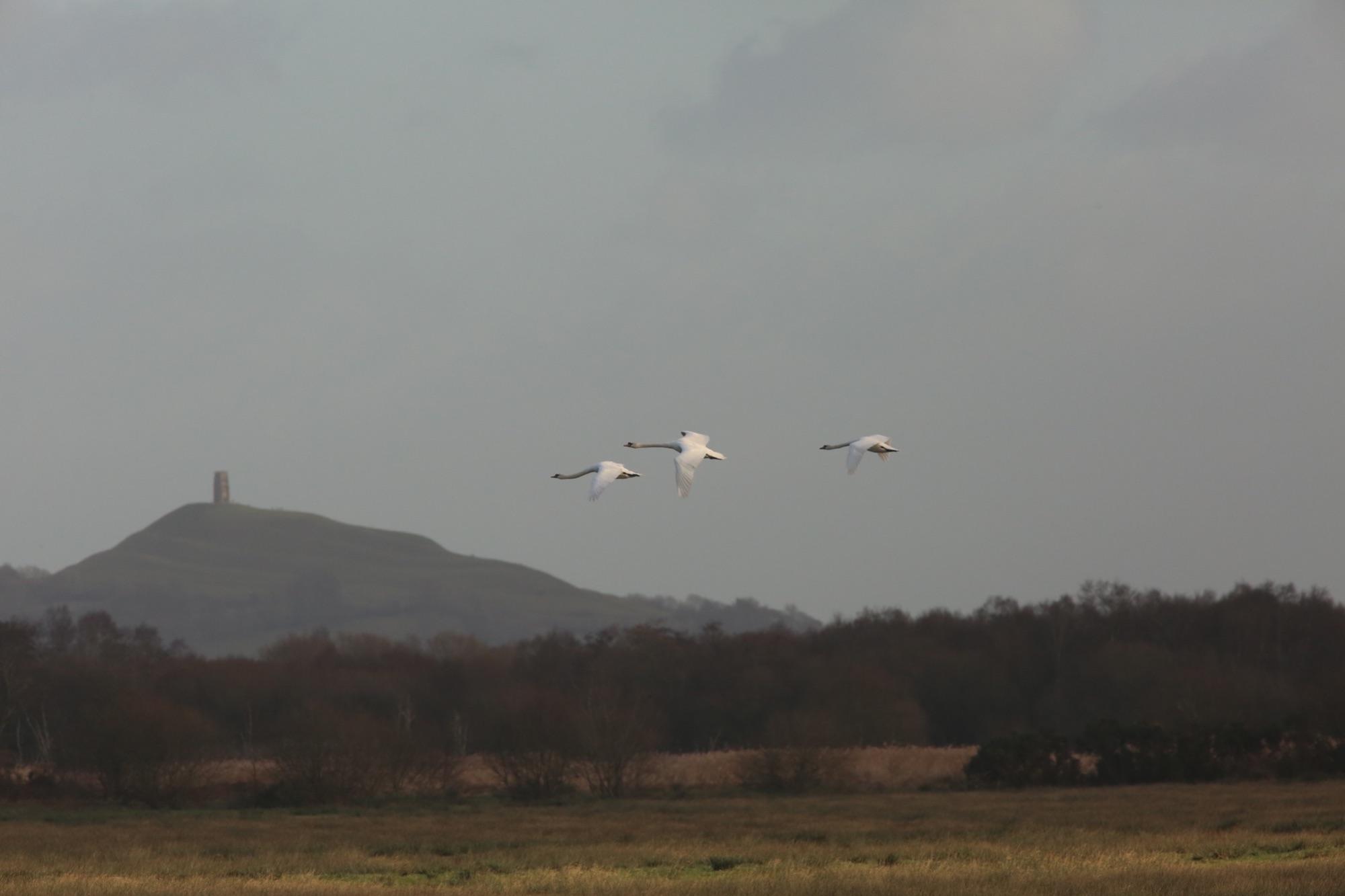 Swans at Glastonbury