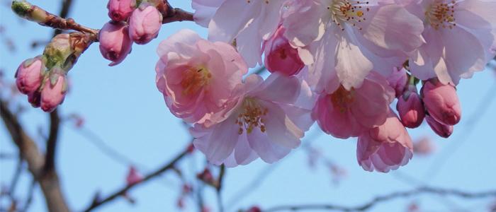 wendy cherry blossom