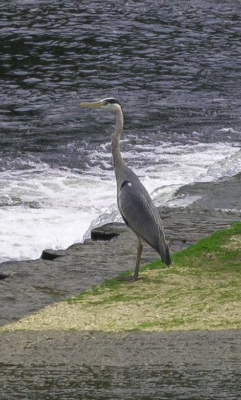 heron on the dart