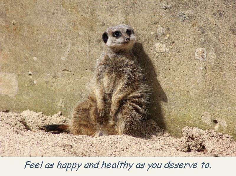 photo-meerkat