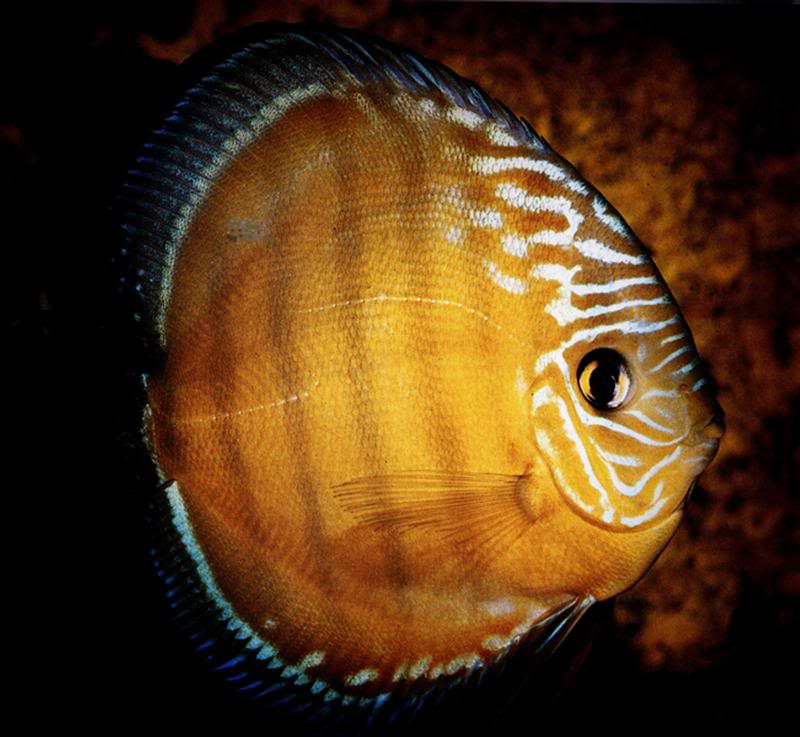 Discus fish for sale uk mainland delivery service available for Live discus fish for sale