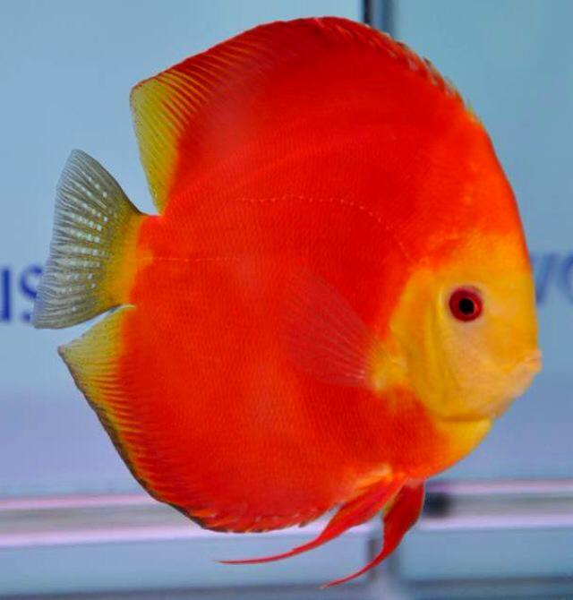 Discus fish for sale online uk delivery for Fish for sale online