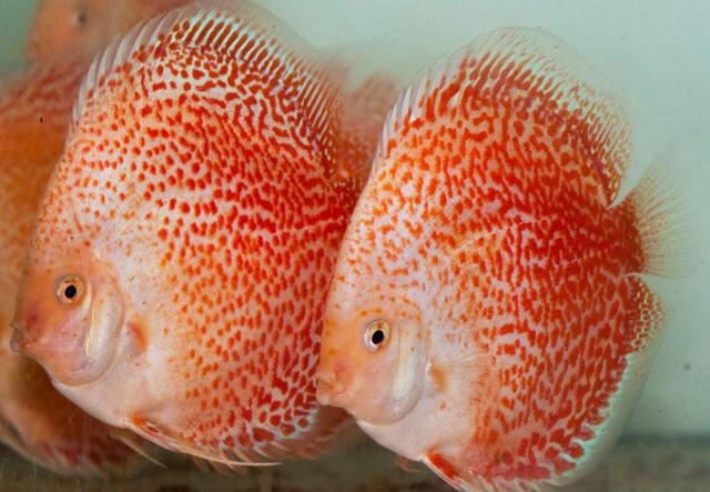 Discus fish for sale driverlayer search engine for Fish for sale online