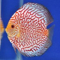 Pearl Discus 2.5 inches Save £7