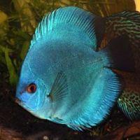 discus fish for sale Blue Diamond