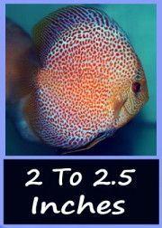 2.5 inch discus fish
