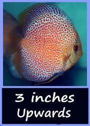 3 inch discus fish