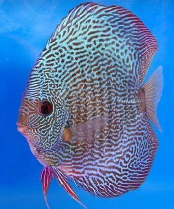 Ruby Snake Skin Discus 3/3.5 inches Save £7