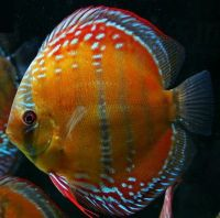 Red Alenquer Discus fish 3 inches Save £10