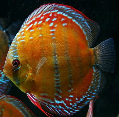 Red Alenquer Discus fish 3/3.5 inches Save £10