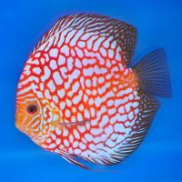 Red Checkerboard Pigeon Discus Fish 3 inches Save £8