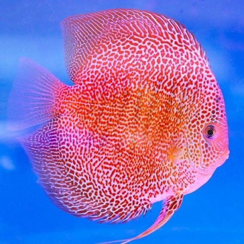 Penang Eruption Discus Fish 3-3.5 inches Save £9