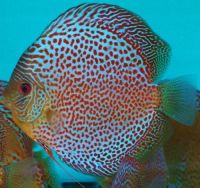 Leopard Discus Fish 3-3.5 inches Save £8