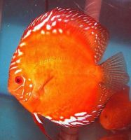 Red Marlbourgh Discus Fish 3 inches Save £9