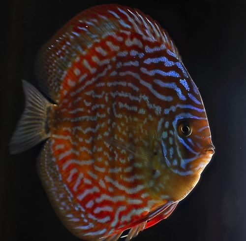 Giant Flora Discus Fish 3-3.5 inches Save £6